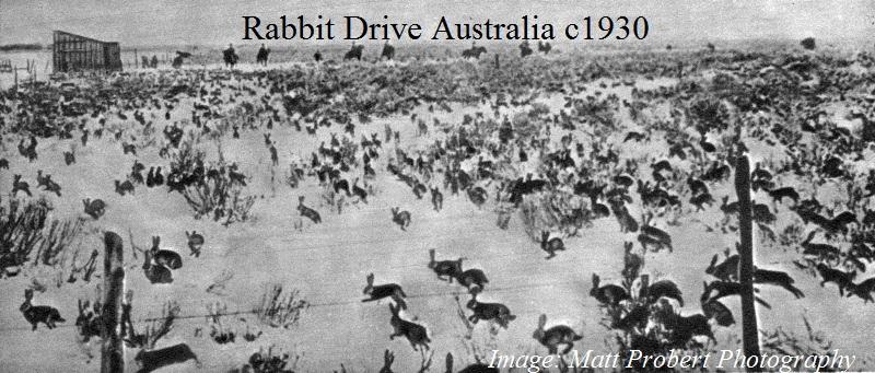 rabbit in australia