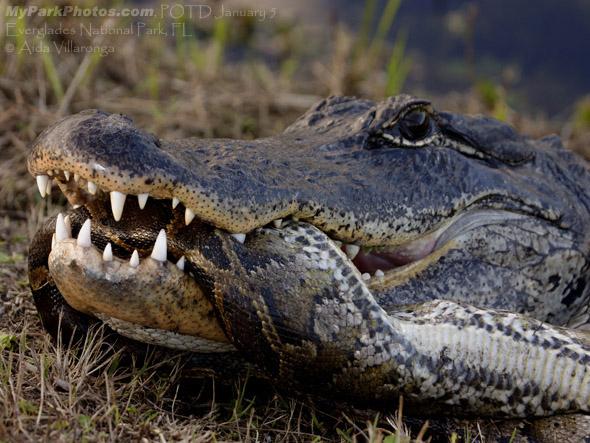 Python Snake Eating Alligator - 226.3KB