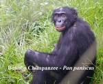 Bonobo Chimpanzee
