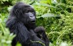 Gorille de montagne, gorillon  / Mountain Gorilla, Gorillon
