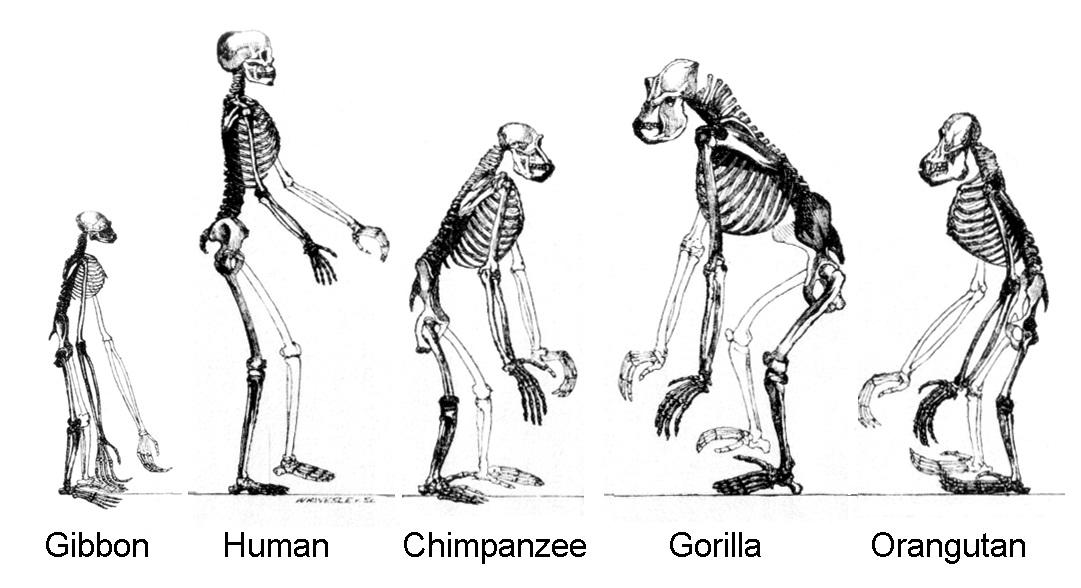 gorillas and orangutans Orangutan Vs Gorilla