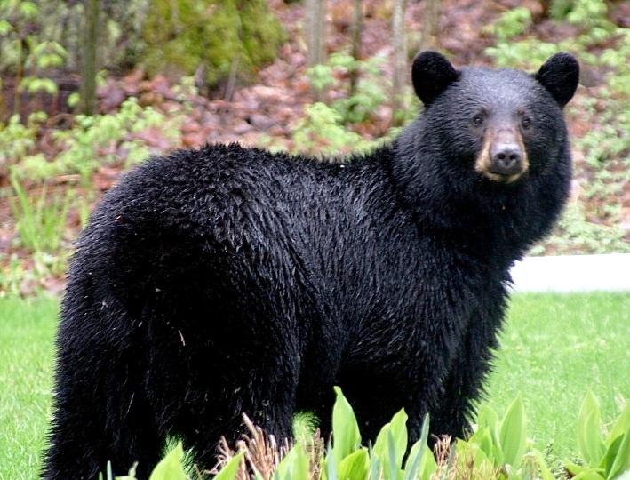 Image result for california black bears