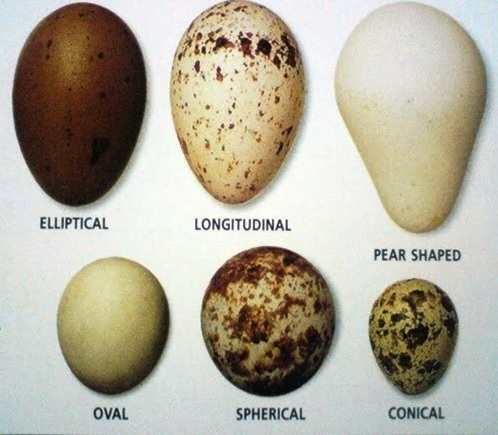 Ostrich Bird Egg - More info