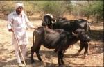 Maldhari
